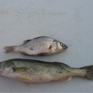 Walleye and the white perch with a tooth hanging out . This is where I caught my pike and right before I caught it.